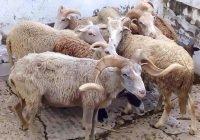 Estudian a ovinos de la Isla Socorro para conocer su adaptación a climas con poca agua