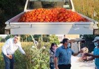 Ayuda alcalde Carlos Carrasco con más de 6 toneladas de jitomate a familias del municipio