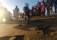 La Secretaría de Marina apoya en liberación de crías de tortugas marinas en Manzanillo