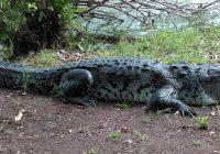 Estudian manejo y características de cocodrilos en cautiverio
