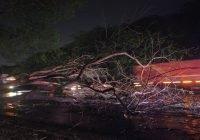 Dos árboles derribados resultado de la fuerte tormenta de ayer jueves en el municipio de Tecomán